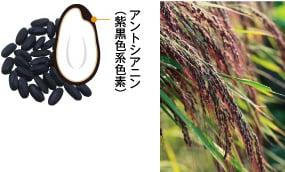 アントシアニン(紫黒色系色素)